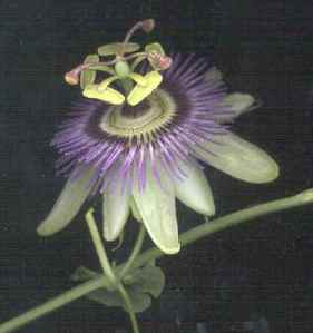 passiflora2[1]
