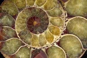sea-shell-fossil